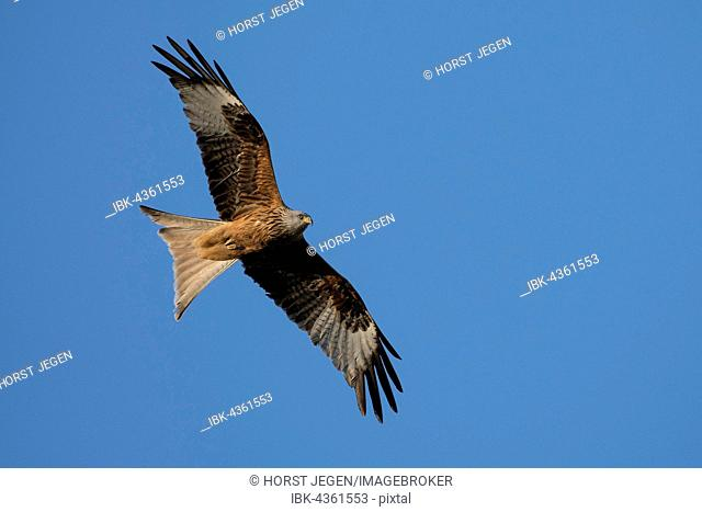 Red Kite (Milvus milvus) in flight, Wittlich, Rhineland-Palatinate, Germany