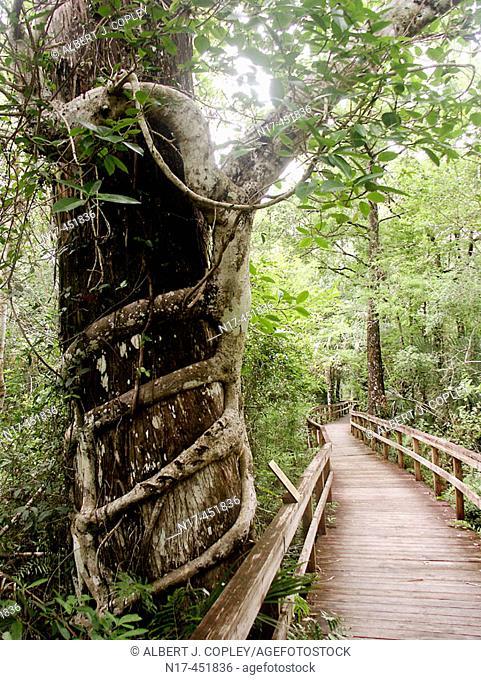 Florida Everglades, Ficus aurea