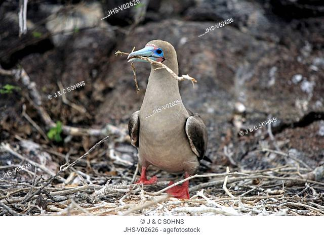 Red Footed Booby,Sula sula,Galapagos Islands,Ecuador,adult,on nest