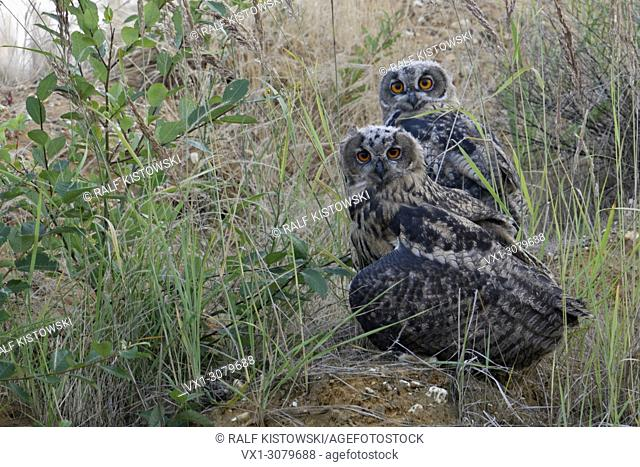 Eurasian Eagle Owls ( Bubo bubo ), young fledglings, sitting in the slope of a gravel pit, watching directly, cute, funny, wildlife, Europe