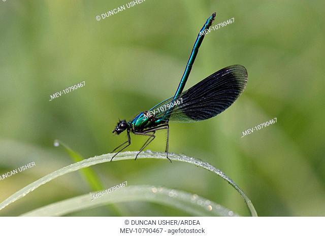 Banded Demoiselle Damselfly - male resting on grass (Calopteryx splendens)