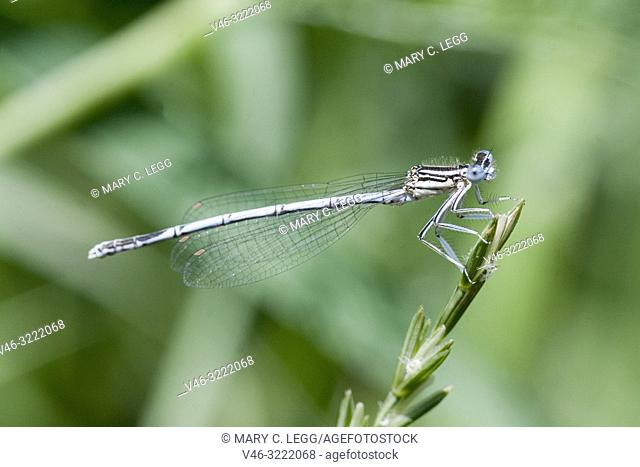 Male White-legged Damselfly, Platycnemis pennipes, Blue Featherleg, a distinct damselfly with white legs/ Length is 32mm