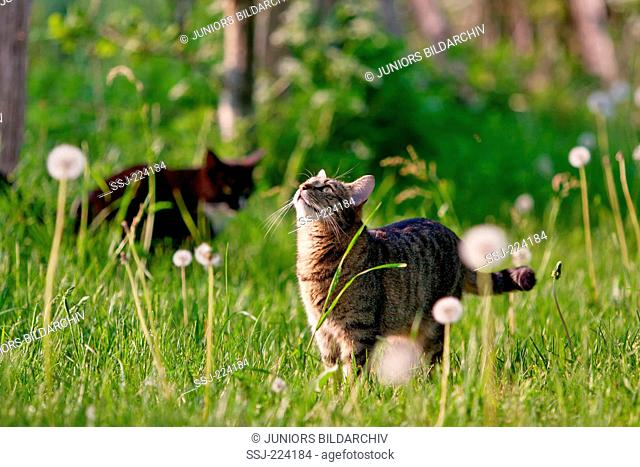 Domestic cat. Two adults on a meadow with with blow balls. Germany