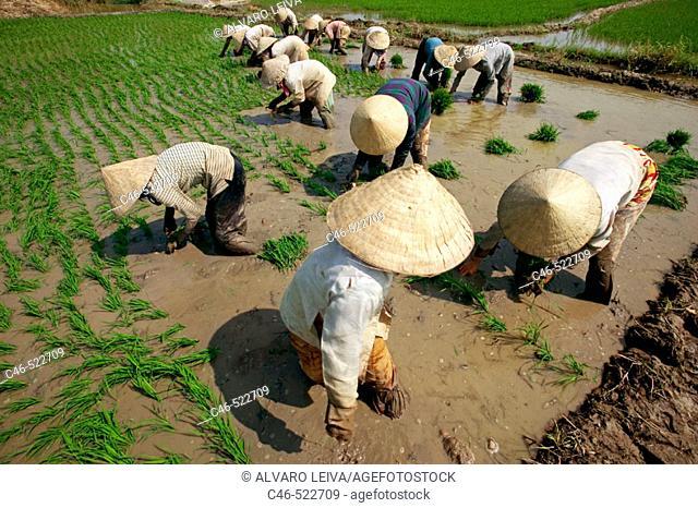Rice field near Tam Nong, Mekong Delta, Vietnam