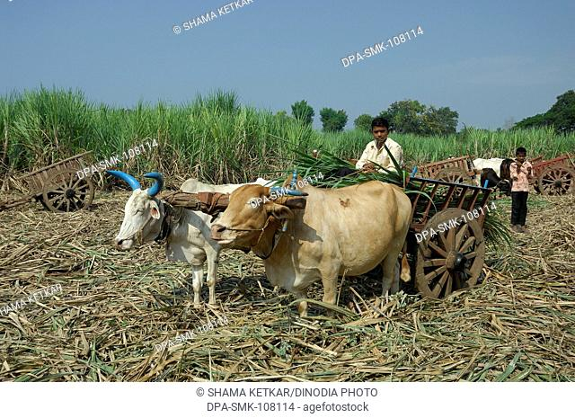 Rider sitting in Bullock cart loaded by Sugar canes standing in field ; Western Maharashtra ; India