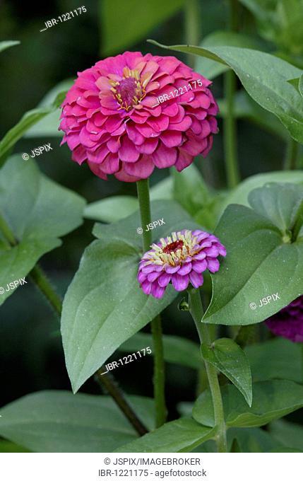 Zinnia (Zinnia elegans), flower