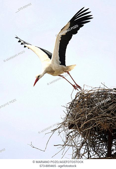 White Storck in Cádiz (Andalusia), Cigüeña Blanca, Ciconia ciconia