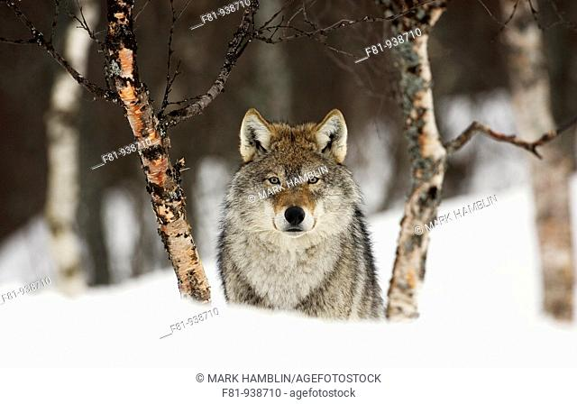 European wolf Canis lupus in birch forest in winter taken in controlled conditions  Norway  March 2008