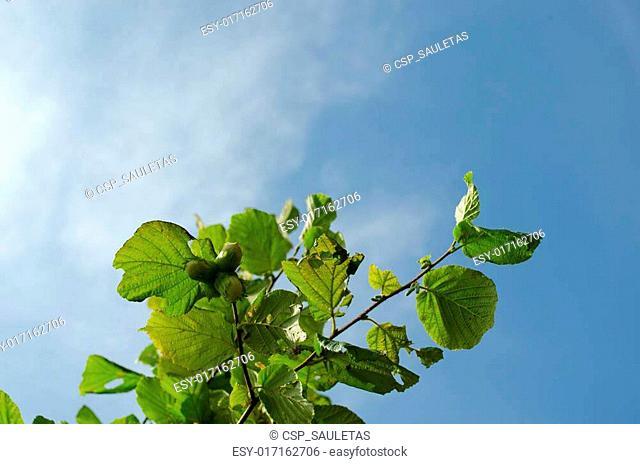 Hazel nut tree branch sky
