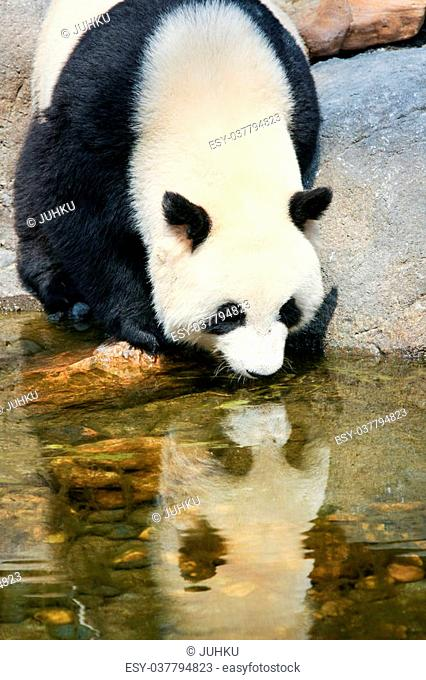 Giant panda near water drinking