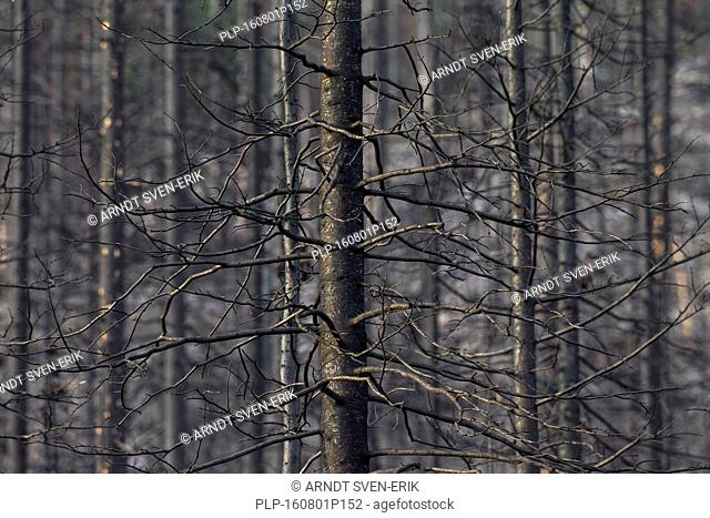 Burned tree trunks after wildfire in coniferous forest