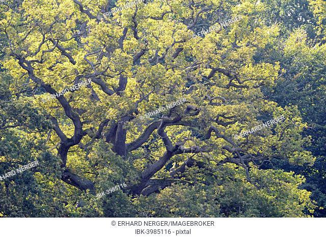 Old Pedunculate Oak (Quercus robur), Jægersborg, Copenhagen, Denmark