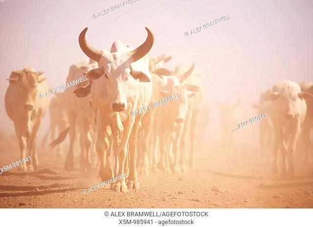 Longhorn Cattle in the Desert of Northern Kenya