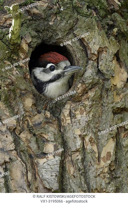 Greater / Great Spotted Woodpecker (Dendrocopos major), juvenile, chick, looking out of nest hole, Europe