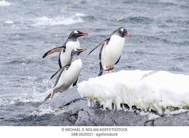 Gentoo penguins, Pygoscelis papua, returning from sea at Port Lockroy, Antarctica