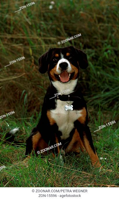 Entlebuch Mountain Dog  /  Entlebucher Sennenhund  /  [Saeugetiere, mammals, animals, Haushund, domestic dog, Haustier, Heimtier, pet, aussen, outdoor, frontal