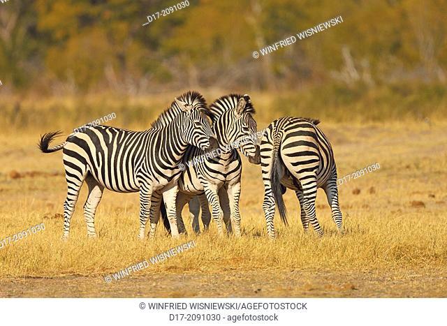 Common zebras (Equus qagga), subspecies Chapman-zebras (Equus quagga chapmani). Hwange National Park. Zimbabwe