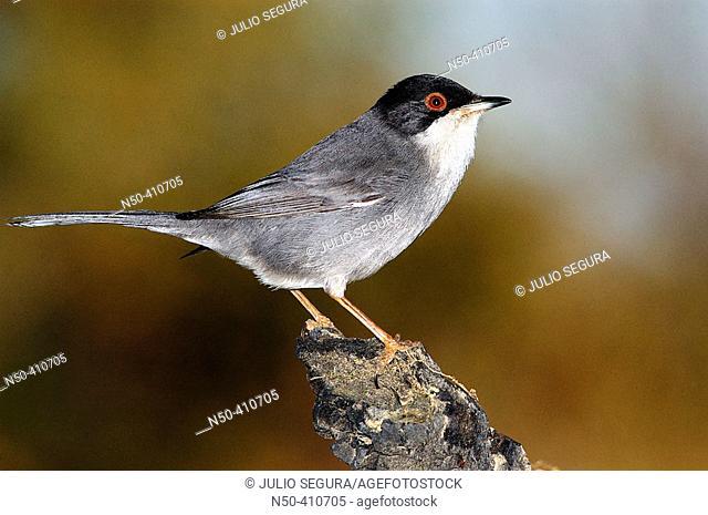 Warbler (Sylvia sp.)