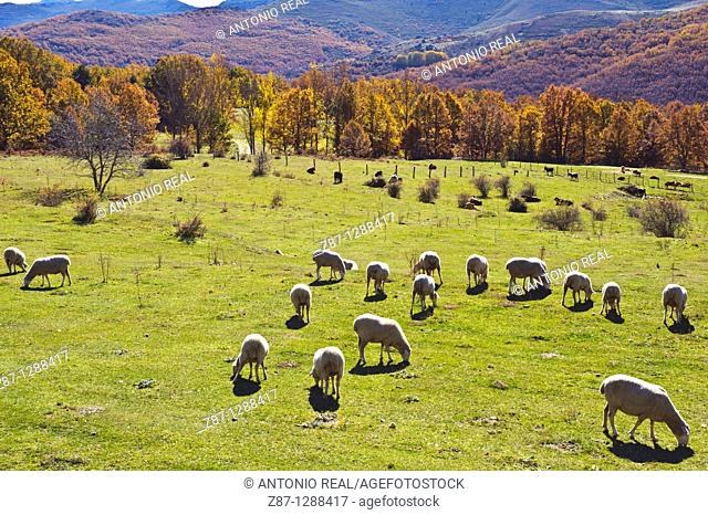 Sheep grazing, El Cardoso de la Sierra, Macizo del Pico del Lobo, Parque Natural Sierra Norte de Guadalajara, Guadalajara, Spain