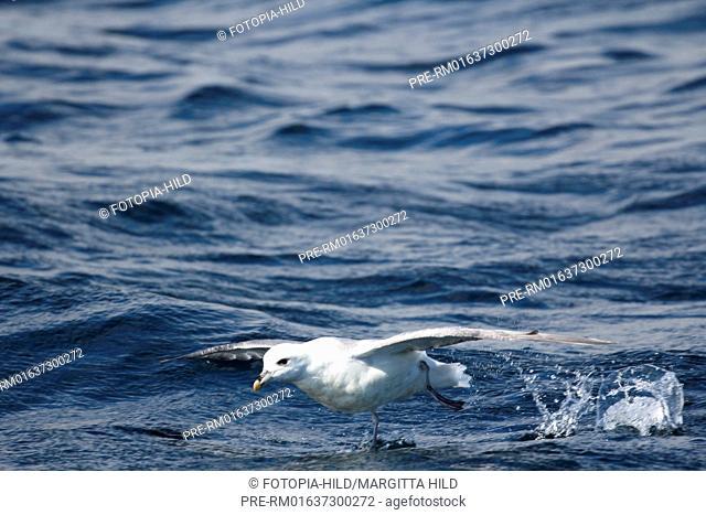 Fulmar, Fulmarus, Calf of Eday, Eday, Orkney Islands, Scotland, United Kingdom / Eissturmvogel, Fulmarus, Calf of Eday, Eday, Orkney Inseln, Schottland