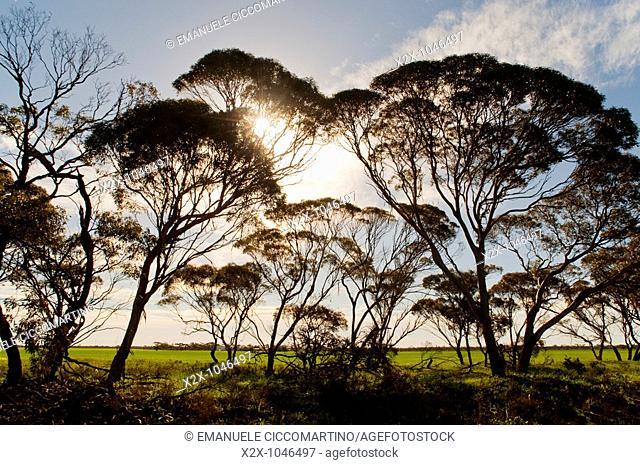 Eucalyptus trees, Pinnaroo, South Australia, Australia