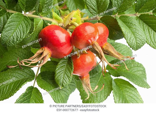 Fresh red rose hips and leaves