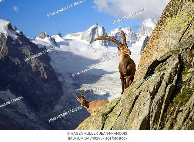 France, Haute Savoie, Chamonix Mont Blanc, moutain goat (Capra ibex), Refuge du Couvercle