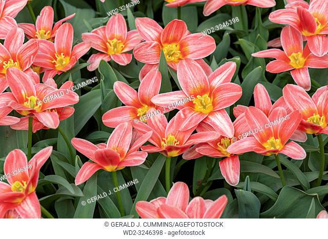 "Derived from the Greek word """"leiron,"""" , the lily was so revered by the Greeks that they believed it sprouted from the milk of Hera, the queen of the gods"