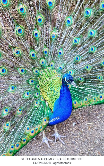 Peacock (Pavo Cristatus), Sequim, Olympic Peninsula, Washington State, USA