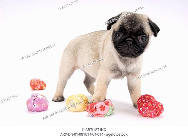 A puppy and colourful balls