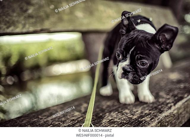 Germany, Rhineland-Palatinate, Boston Terrier, Puppy standing on bench with dog lead