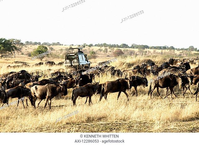 Safari vehicle passes through group of migrating Wildebeest (Connochaetes) in dry season savannah, Serengeti National Park; Tanzania