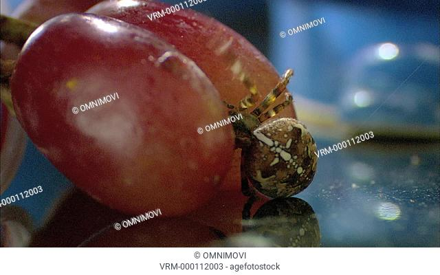 European Garden Spider crawling on worktop and two red grapes