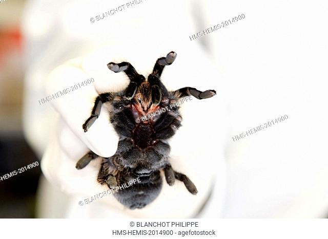 France, Paris, National Museum of Natural History, manipulation of tarantula Brachypelma albopilosum (Theraphosidae)