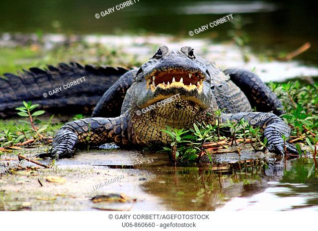 an American alligator ( Alligator mississippiensis ) displaying an aggressive posture in Florida in the USA