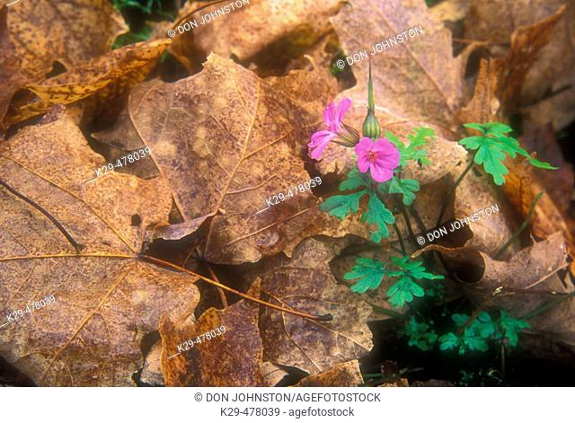 Late-season flowers protected by fallen leaves on wood lot floor. Manitoulin Island. Ontario. Canada