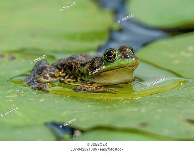 A large eyed Mink Frog sits on floating lily pads during its early summer breeding season in a northern Wisconsin wetland