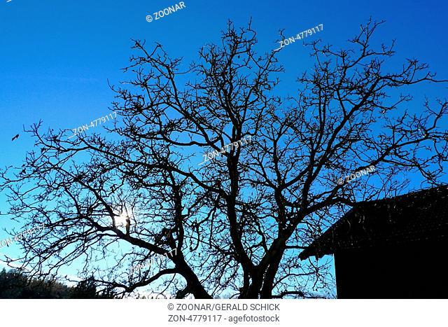 Treetops in winter, walnut tree