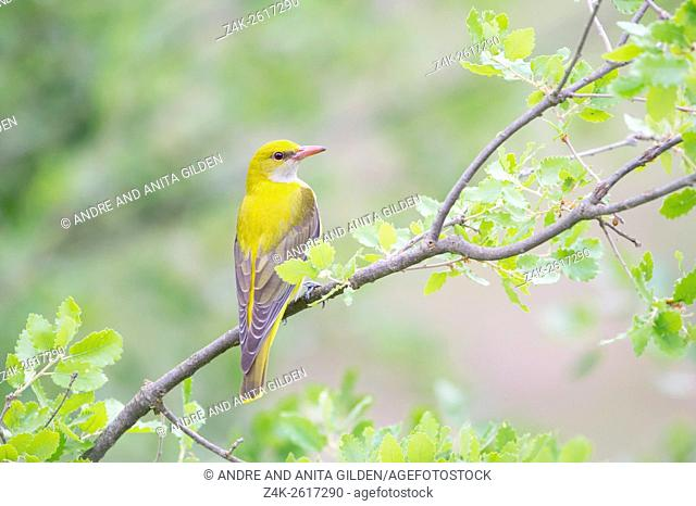 Golden Oriole (Oriolus oriolus) subadult male perched in tree, Catalonia, Spain