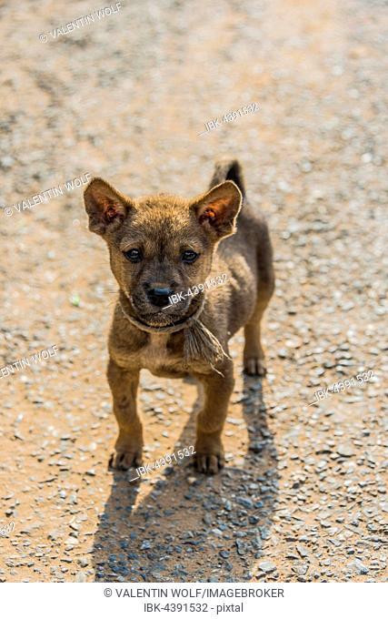 Young street dog, Nong Khiaw, Luang Prabang, Laos