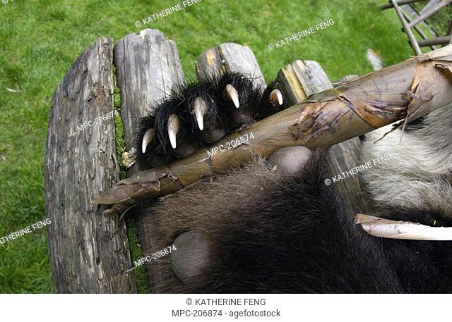 Giant Panda Ailuropoda melanoleuca, endangered, detail of baby's paw showing claws, holding a bamboo shoot at the China Conservation and Research Center for the...