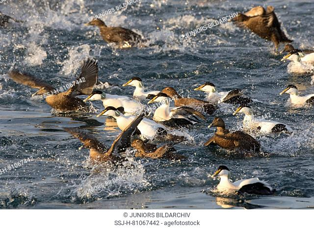 Common Eider (Somateria mollissima). Flock of drakes and ducks swimming, some of them starting. Iceland