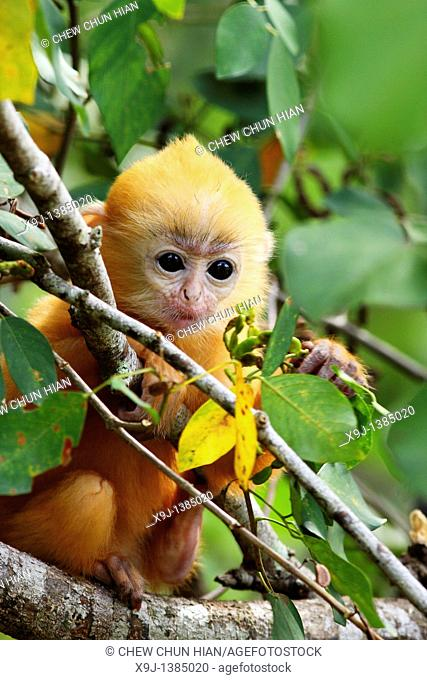 Golden color Baby of Silver Leaf Langur at Bako National Park, Sarawak, Malaysia