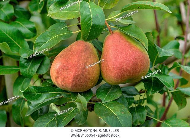 Common pear (Pyrus communis 'Gerburg', Pyrus communis Gerburg), pears on a tree, cultivar Gerburg, Germany