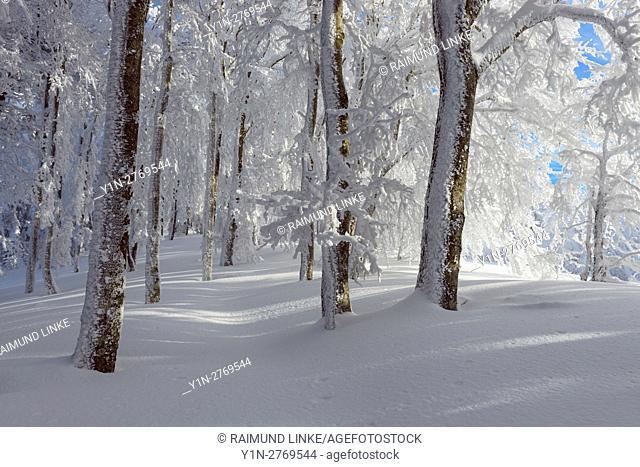 Snow covered beech forest in winter, Schauinsland, Black Forest, Freiburg im Breisgau, Baden Wurttemberg, Germany