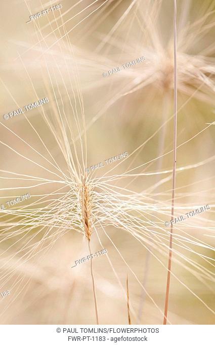 Grass, Feathertop grass, Pennisetum villosum, Long hair like spikelets reaching out from a flower, looking like a communication network
