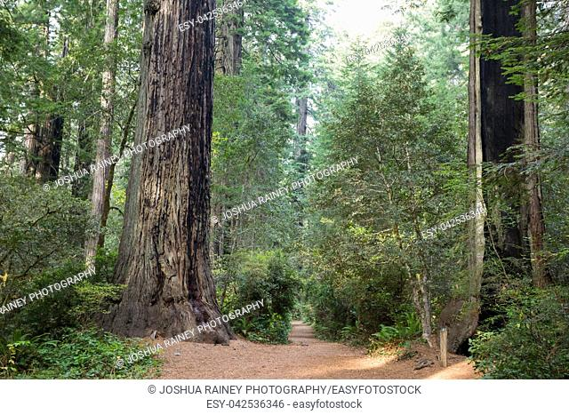 Hiking trails at the Lady Bird Johnson Grove Trail in California Redwoods National Park and State Parks
