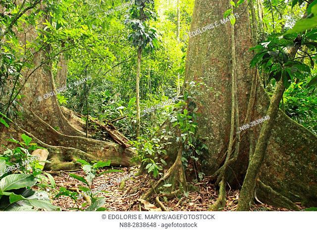High jungle Henri Pittier National Park Venezuela