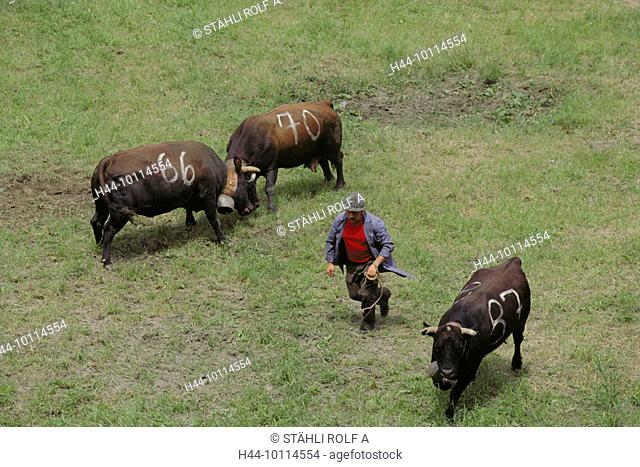 10114554, national custom, Switzerland, Europe, Valais, Ehringer cows, Eringer, cow's fight, folklore, tradition, custom