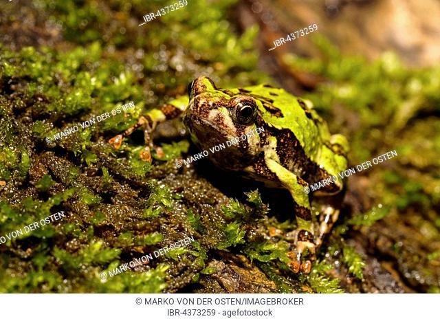 Madagascar Rain Frog (Scaphiophryne madagascariensis), Analamazoatra Special Reserve, Andasibe-Mantadia National Park, eastern Madagascar, Madagascar